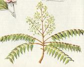 Ailanthus highest
